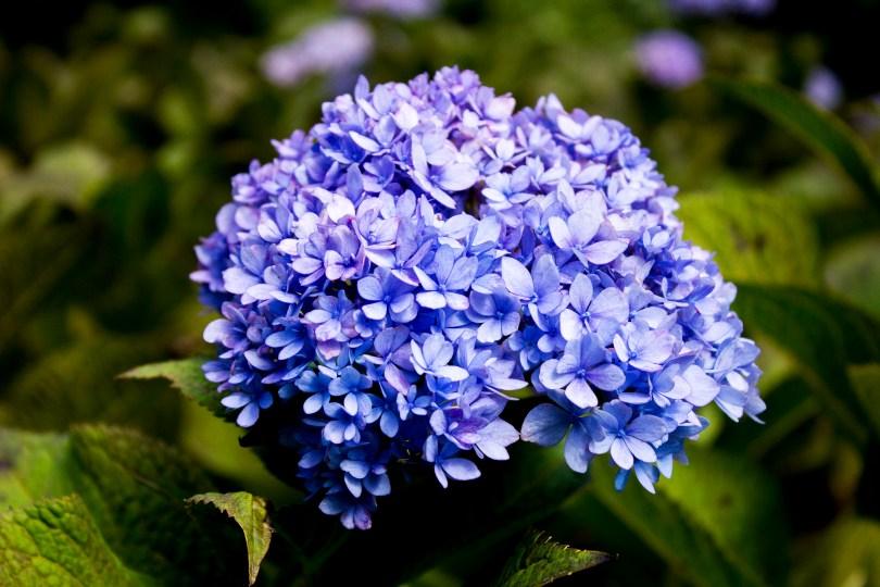 tyler-arboretum-violet-hydrangea