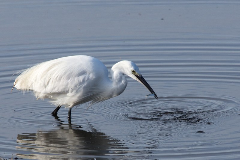 Little Egret catching a small fish on the saltmarsh close to Leighton Moss