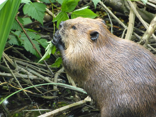 Things to do in Vancouver: Beaver