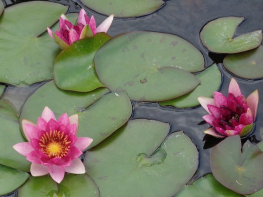 Lilypads and Water Lilies, New Orleans Botanical Garden