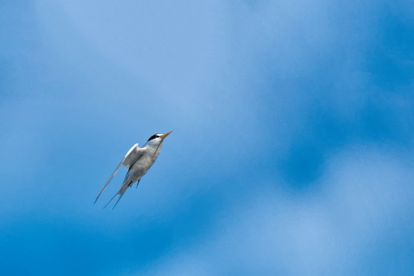 Least Tern in flight