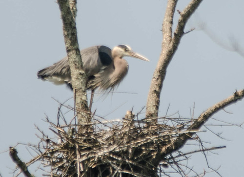 Lake Connestee Heron Rookery-005