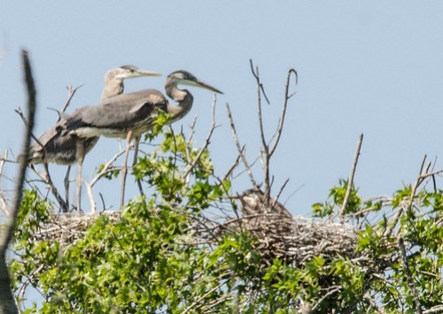 Heron Rookery at Lake Connestee-021