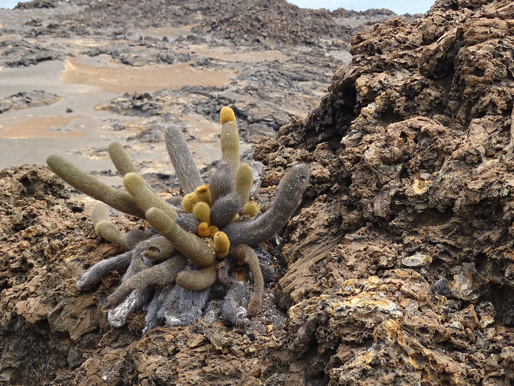 Flora Isla de San Bartolome Parque Nacional Galapagos  Ecuador 02