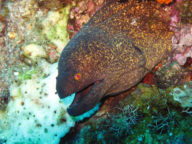 Moray Eel at Sabolan Kecil Island
