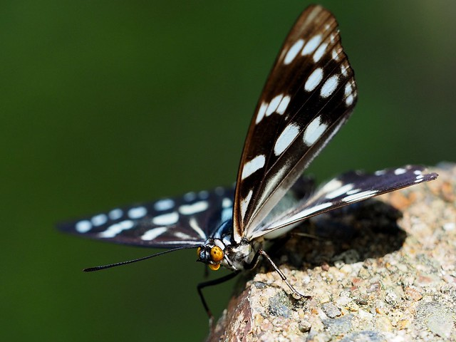 Hestina persimilis japonica (ゴマダラチョウ) butterfly