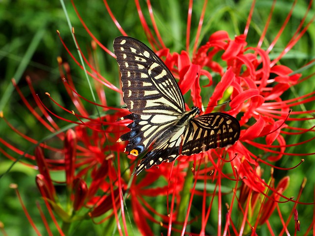 Asian swallowtail butterfly (アゲハ) on a red spider lily (彼岸花)