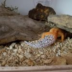 Leopard Gecko Terrarium Decorations Leopard Gecko Care