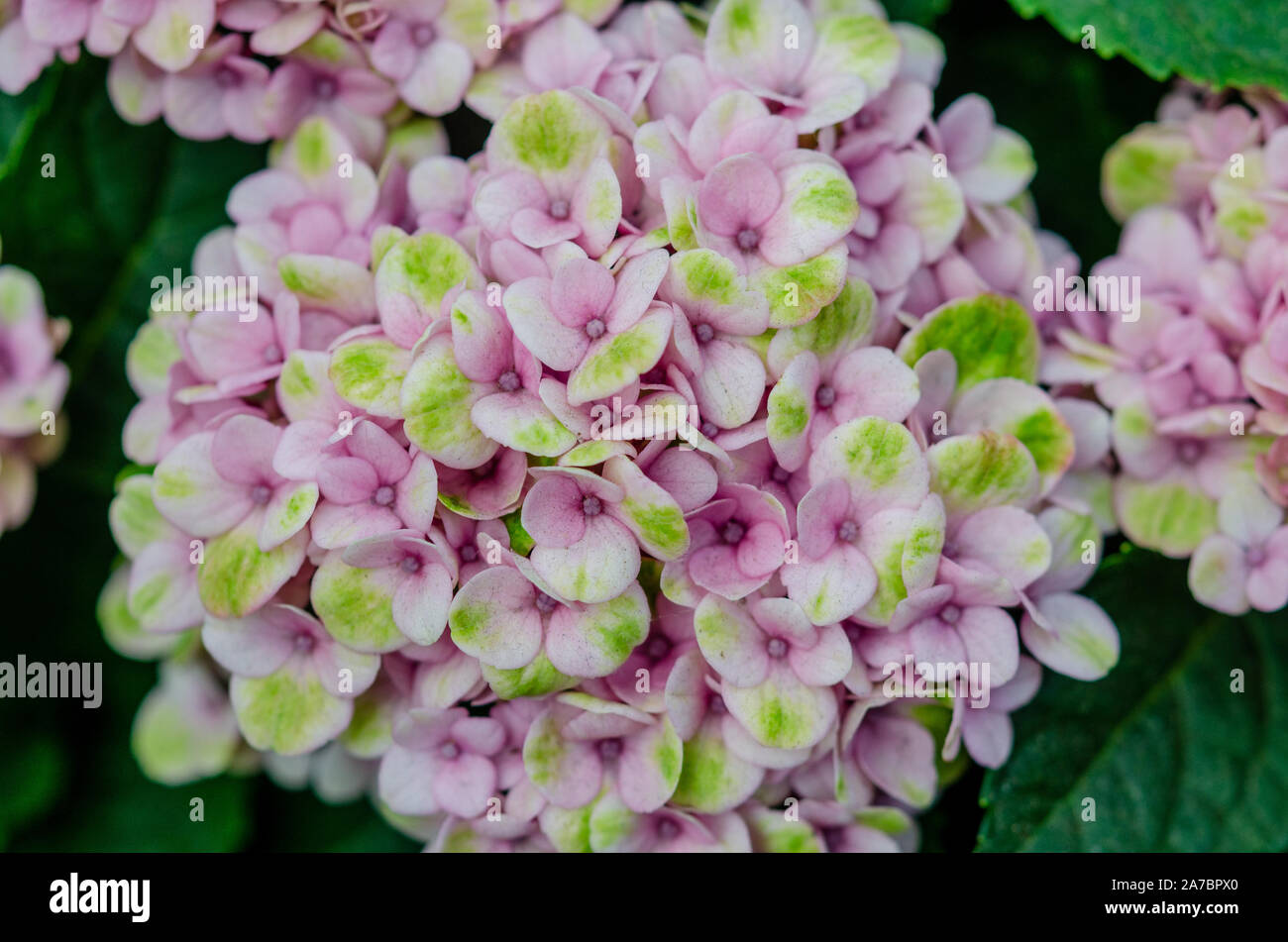 Hydrangea Pink And Blue Landscape Stock Photos Hydrangea Pink