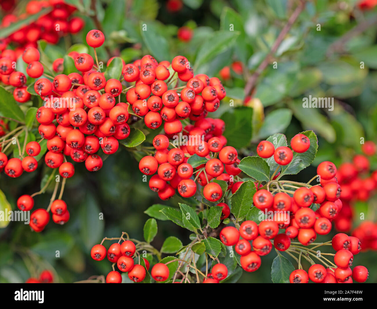 Red Firethorn Stock Photos Red Firethorn Stock Images Page 2