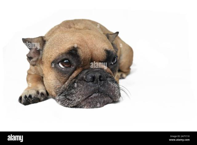 sad brown french bulldog dog with ears laid back lying on