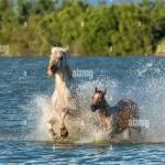 Horses Running In The Water Beautiful Wild Horses In Camargue Stock Photo Alamy