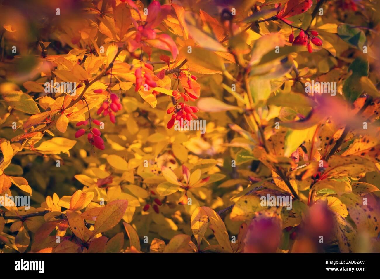 Berberis Thunbergii Berries Stock Photos Berberis Thunbergii