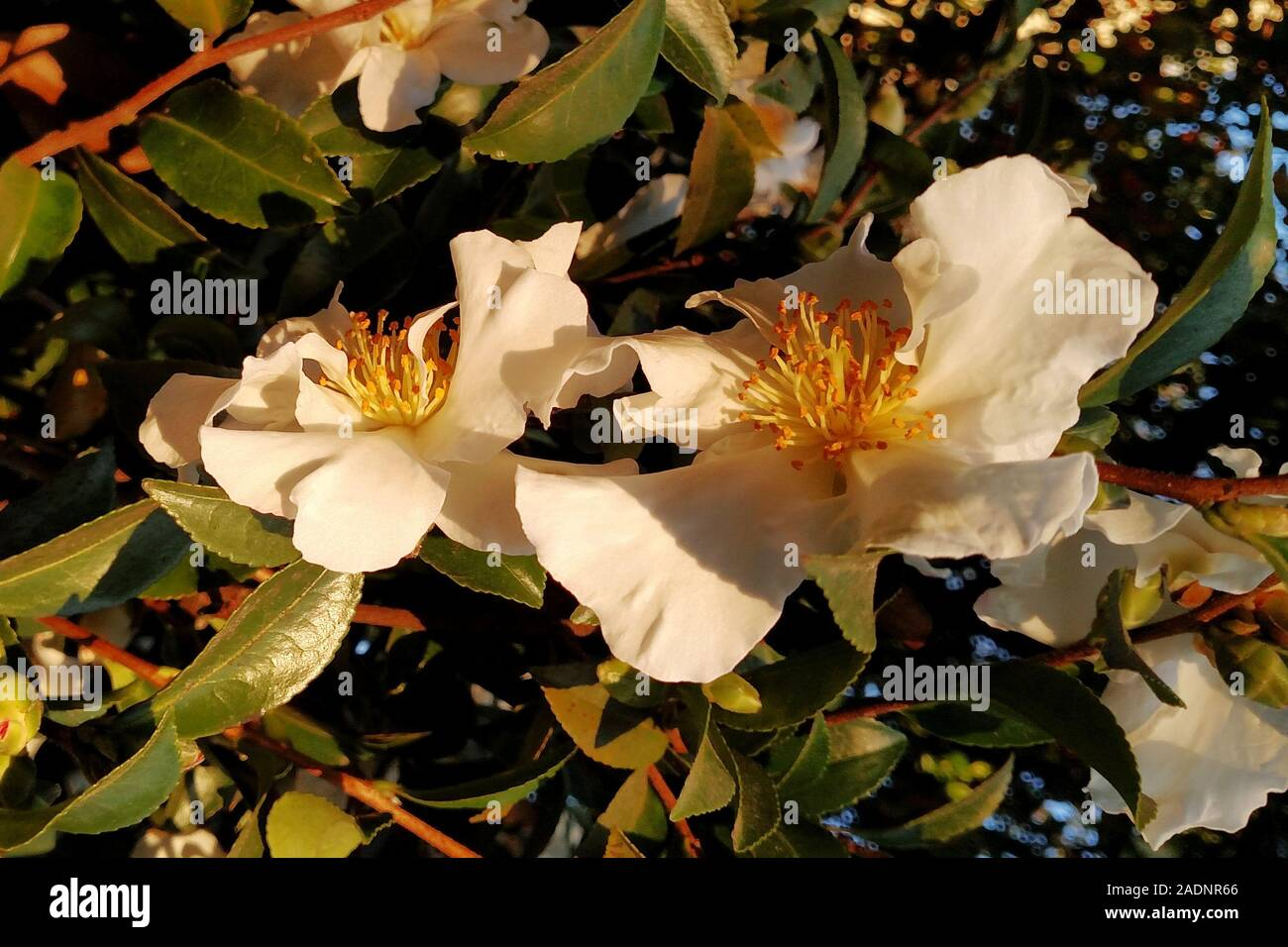 Sasanqua Flowers Stock Photos Sasanqua Flowers Stock Images Alamy