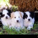 Three Border Collie Puppies Two Black And White And One Red And White Looking Cute In The Grass Stock Photo Alamy