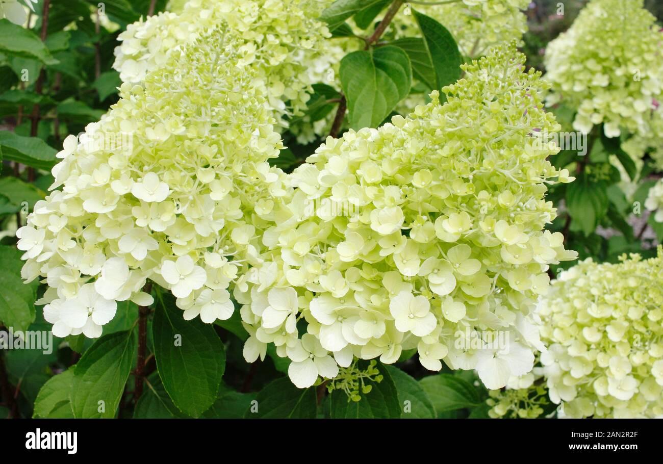 Creamy White Hydrangea Stock Photos Creamy White Hydrangea Stock