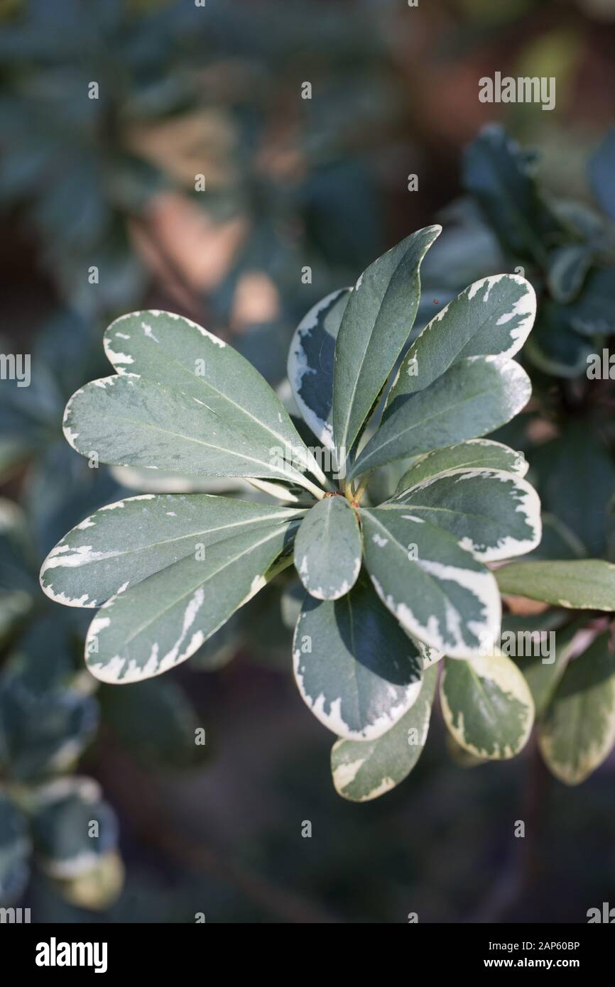 Pittosporum Stock Photos Pittosporum Stock Images Alamy