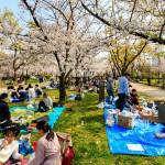 Japan Springtime Cherry Blossoms At The Nishinomaru Garden Osaka Castle Crowded Scene Of Groups Of People Having Parties Under Cherry Blossom Trees Stock Photo Alamy