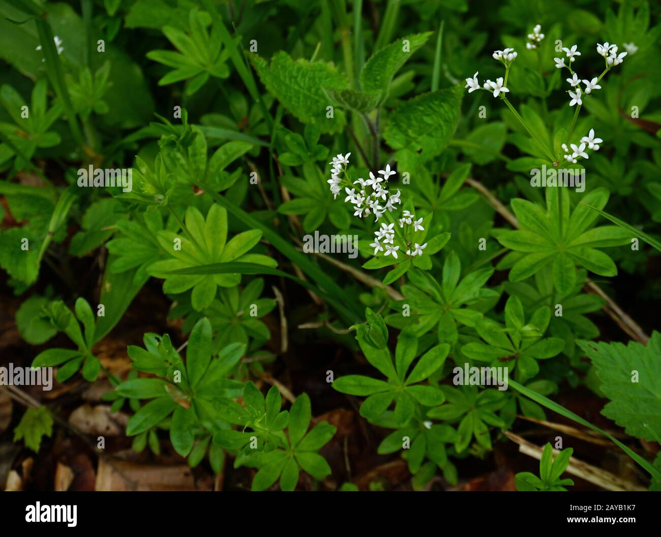 Babys Breath Plant High Resolution Stock Photography And Images Alamy