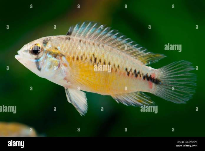 Umbrella Fish High Resolution Stock Photography And Images Alamy
