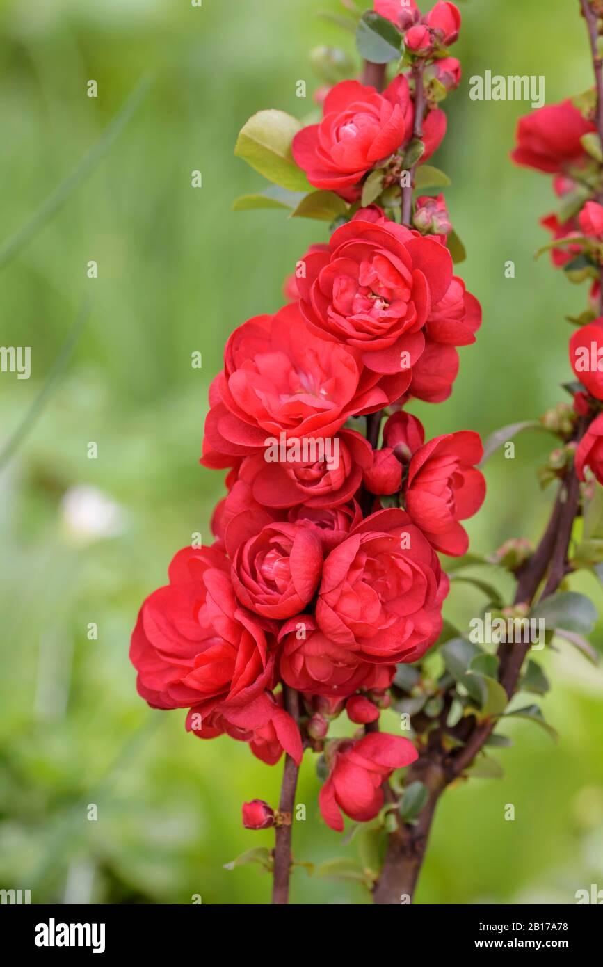 Chaenomeles Cultivar Stock Photos Chaenomeles Cultivar Stock
