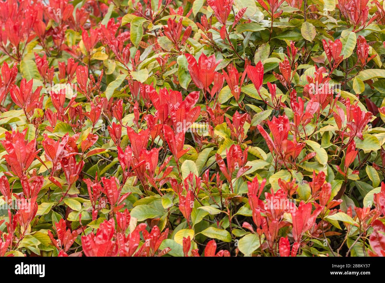 Photinia X Fraseri Red Robin Stock Photos Photinia X Fraseri Red