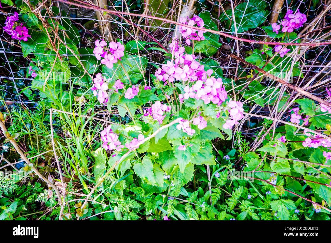 Dianthus Barbatus Sweet William Flowers In Summer Stock Photos
