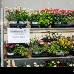 07 04 2020 Kempen North Rhine Westphalia Germany Bedding And Balcony Plants In Roll Containers Potted Plants For Sale Gardening In Times Of The Stock Photo Alamy