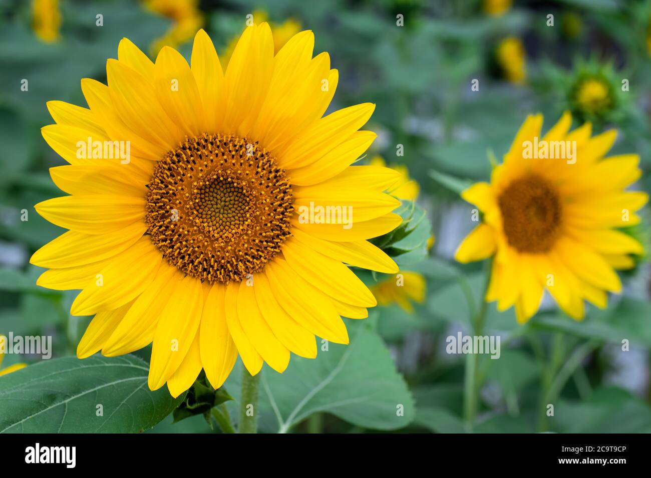 Sunflower Wallpaper High Resolution Stock Photography And Images Alamy