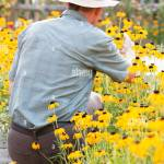 Senior Gardener Picking Yellow Flowers In A Garden In The Morning Light Focus On The Head Of The Man Stock Photo Alamy