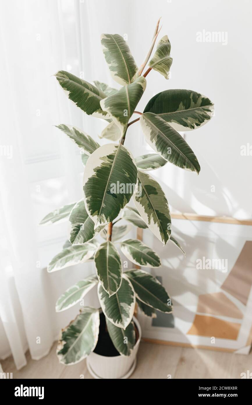Big Indoor Plants High Resolution Stock Photography And Images Alamy