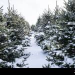 Row Of Snow Covered Evergreen Trees At Local Christmas Tree Farm Stock Photo Alamy