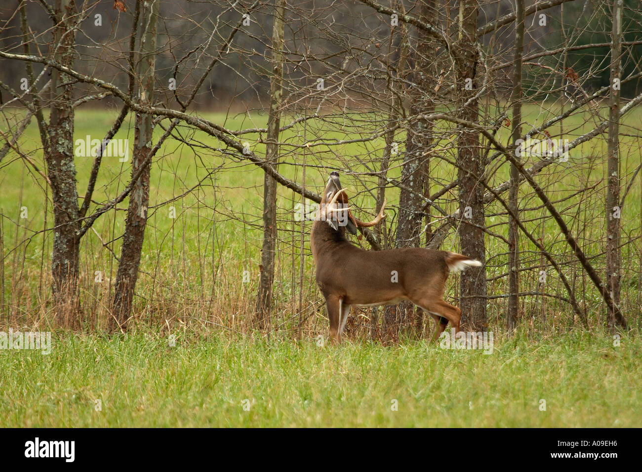 A Whitetail Buck Making A Scstock Photo