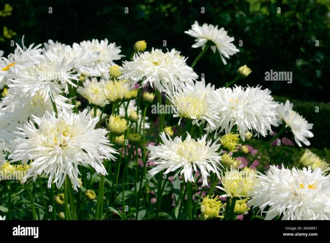 White flowers images with names siewalls white flowers of garden plant leucanthemum x super gy common scientific name anemone vitifolia mightylinksfo