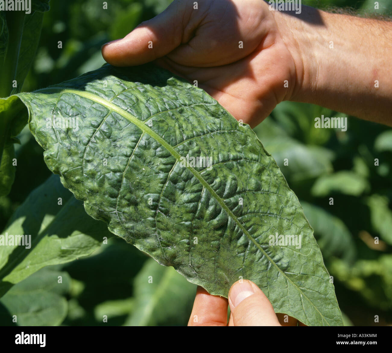 Tobacco Mosaic Virus Marmor Tabaci Top Side Of Leaf