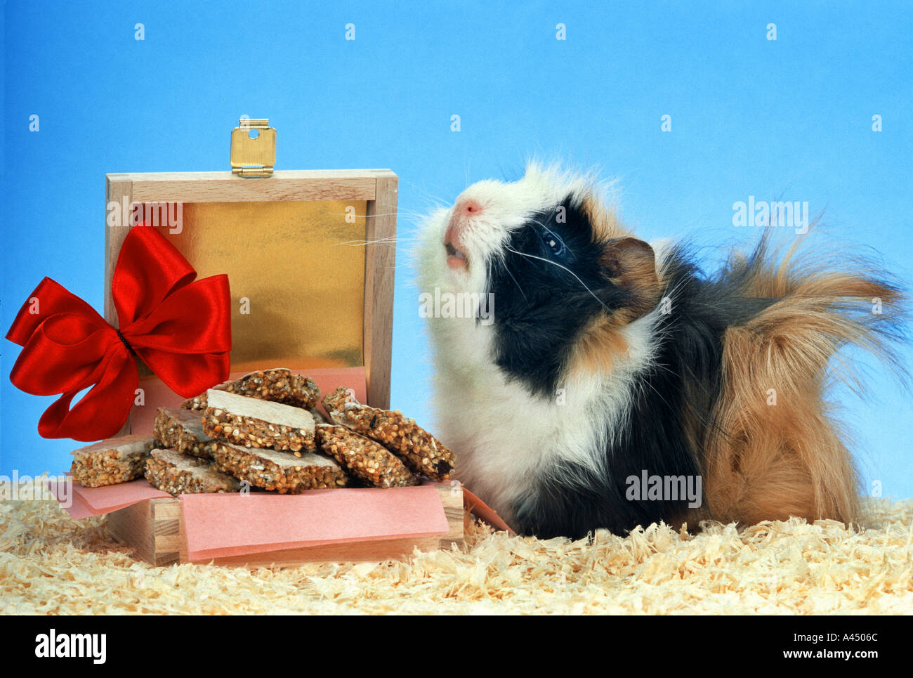 A Present For The Guinea Pig Shortbread Biscuit Cookie Happy Birthday Guinea Pig Shortbread Biscuit Cookies Cavy Cavia Rodent P Stock Photo Alamy