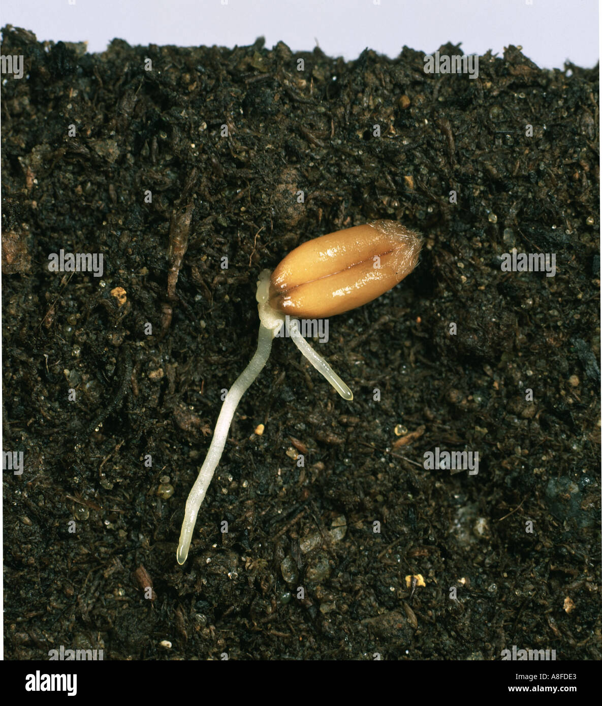 Wheat Seed Germinating With Roots And Radicle Forming