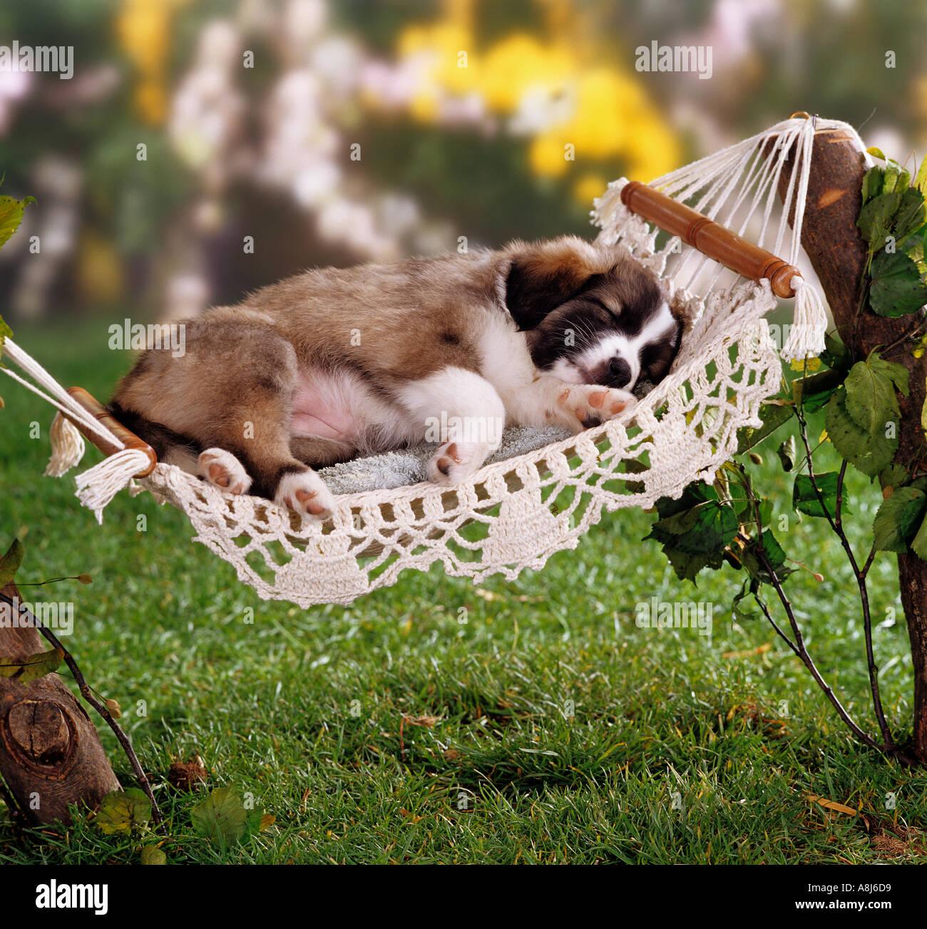 Half Breed Dog Puppy 5 Weeks Sleeping In Hammock Stock