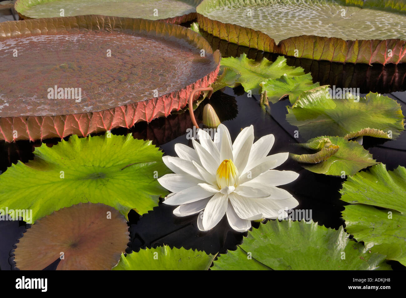 Amazon Pond Plants