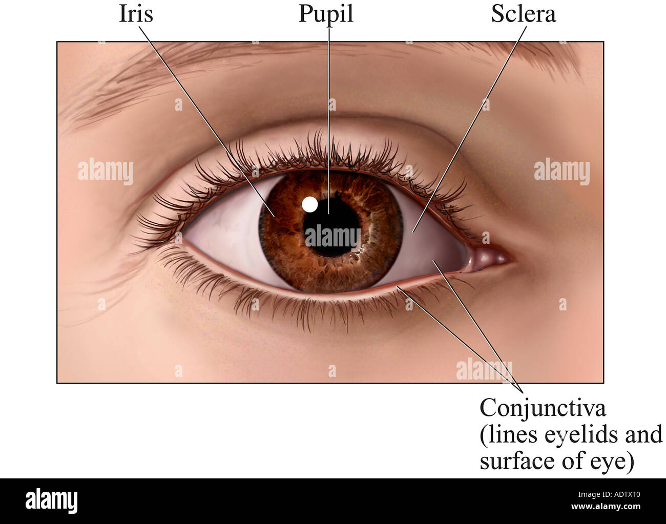 Anterior Front View Of The Eye Stock Photo