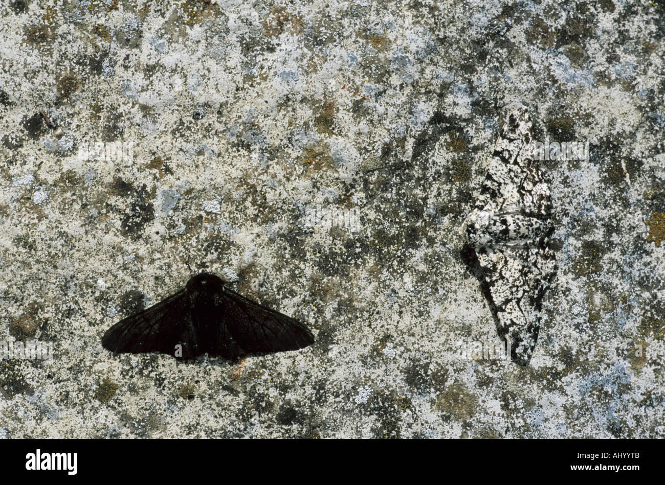 Peppered Moth Melanistic Normal Form On Pale Background