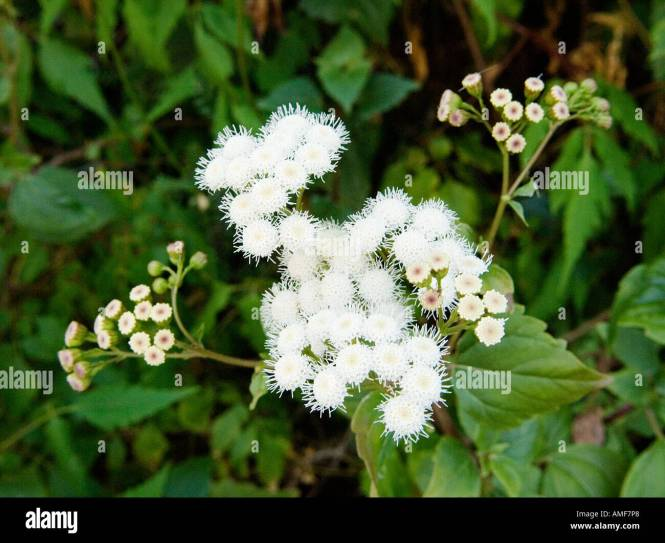 White weed flower images flower decoration ideas white weed flowers images flower decoration ideas pictures of weeds with white flowers the best flower mightylinksfo Choice Image