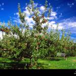 Agriculture An Apple Tree In An Orchard With A Full Crop Of Mature Stock Photo Alamy