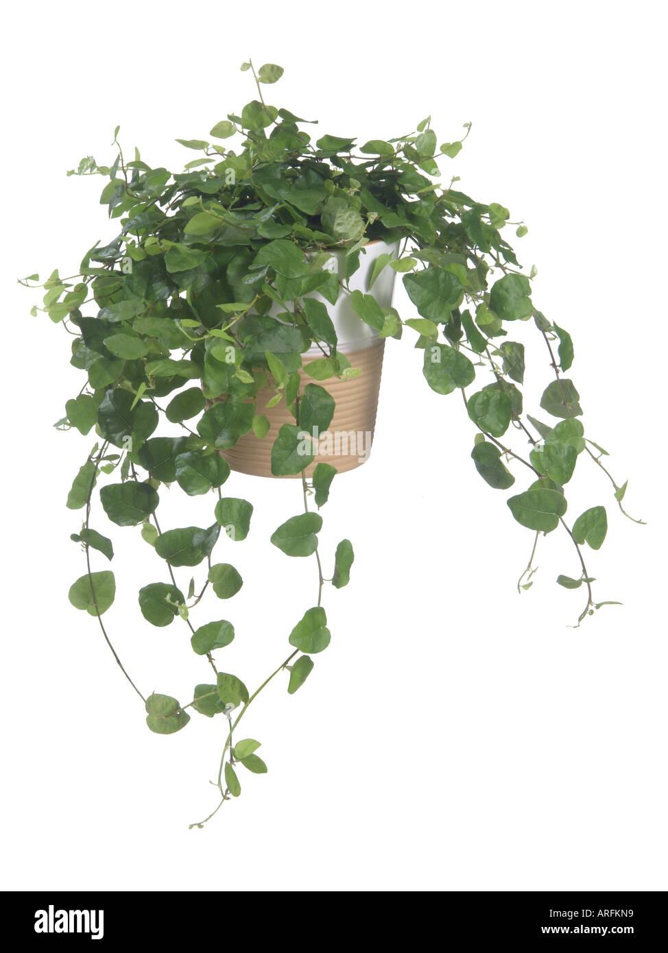 Indoor Hanging Basket Plants