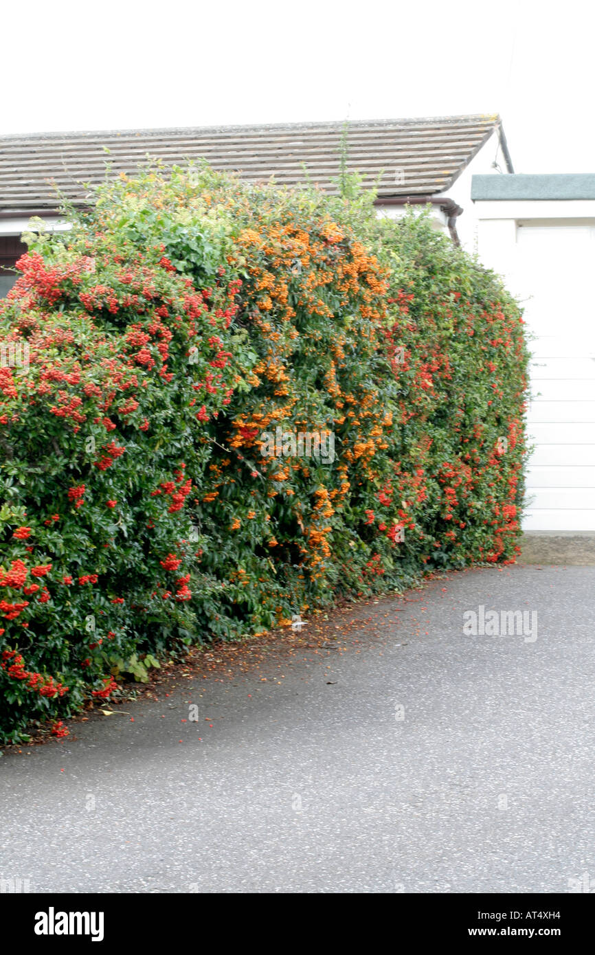 Hedge Pyracantha Stock Photos Hedge Pyracantha Stock Images