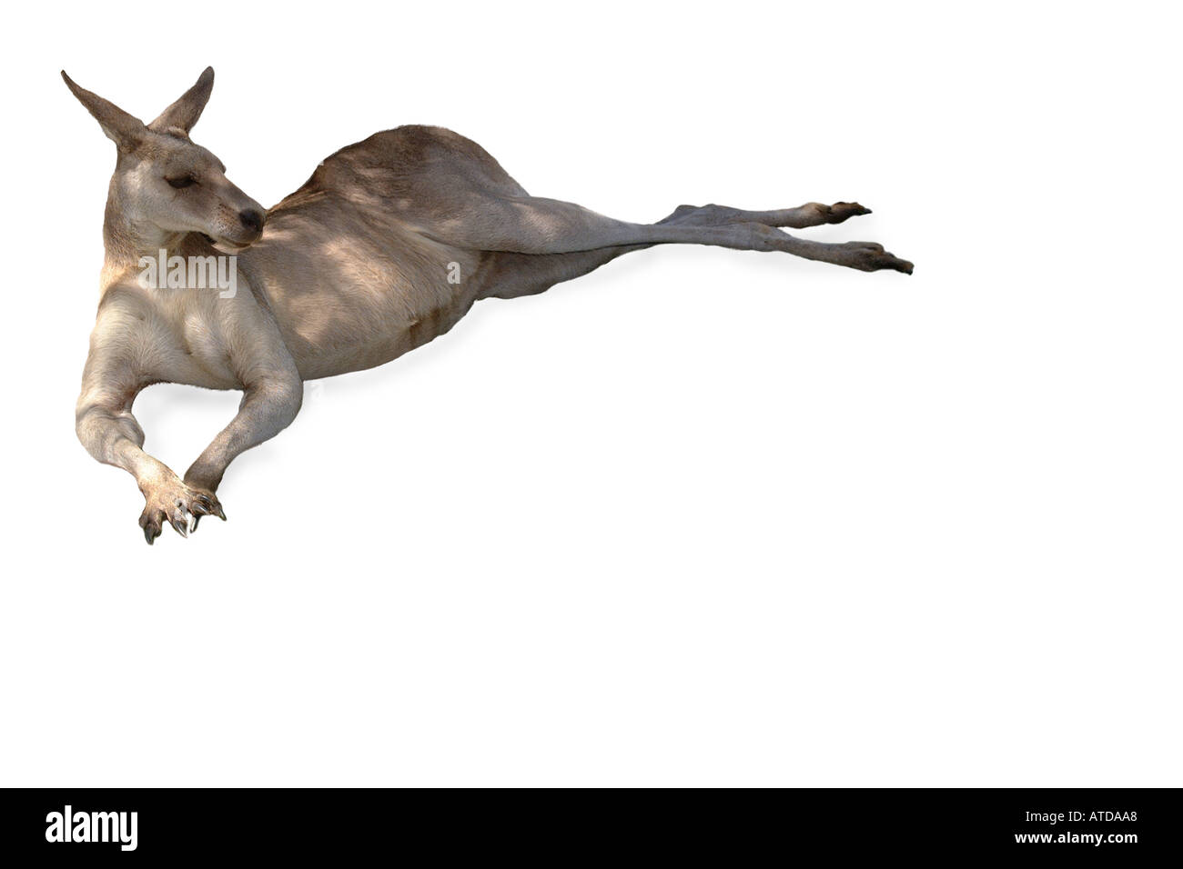 Kangaroo Cut Out Stock Images Amp Pictures