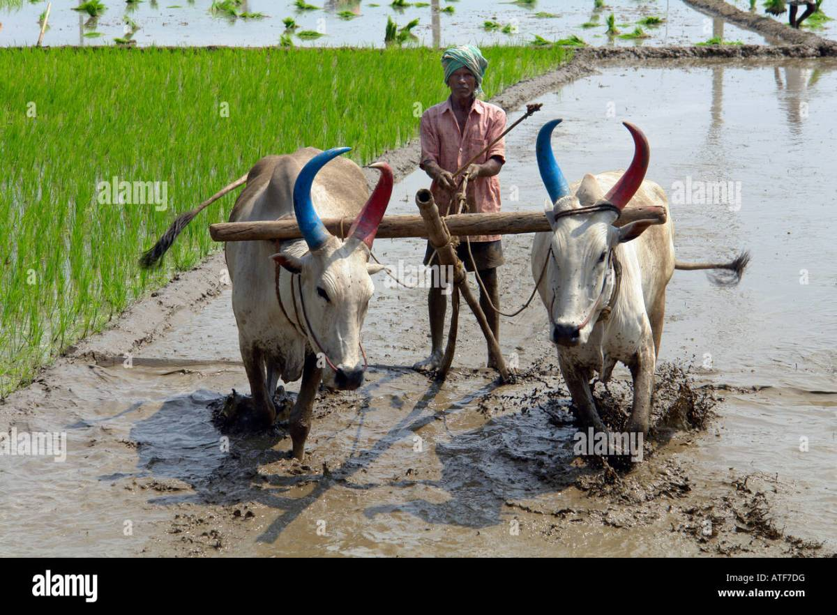 Traditional Indian Farming Methods High Resolution Stock Photography and  Images - Alamy