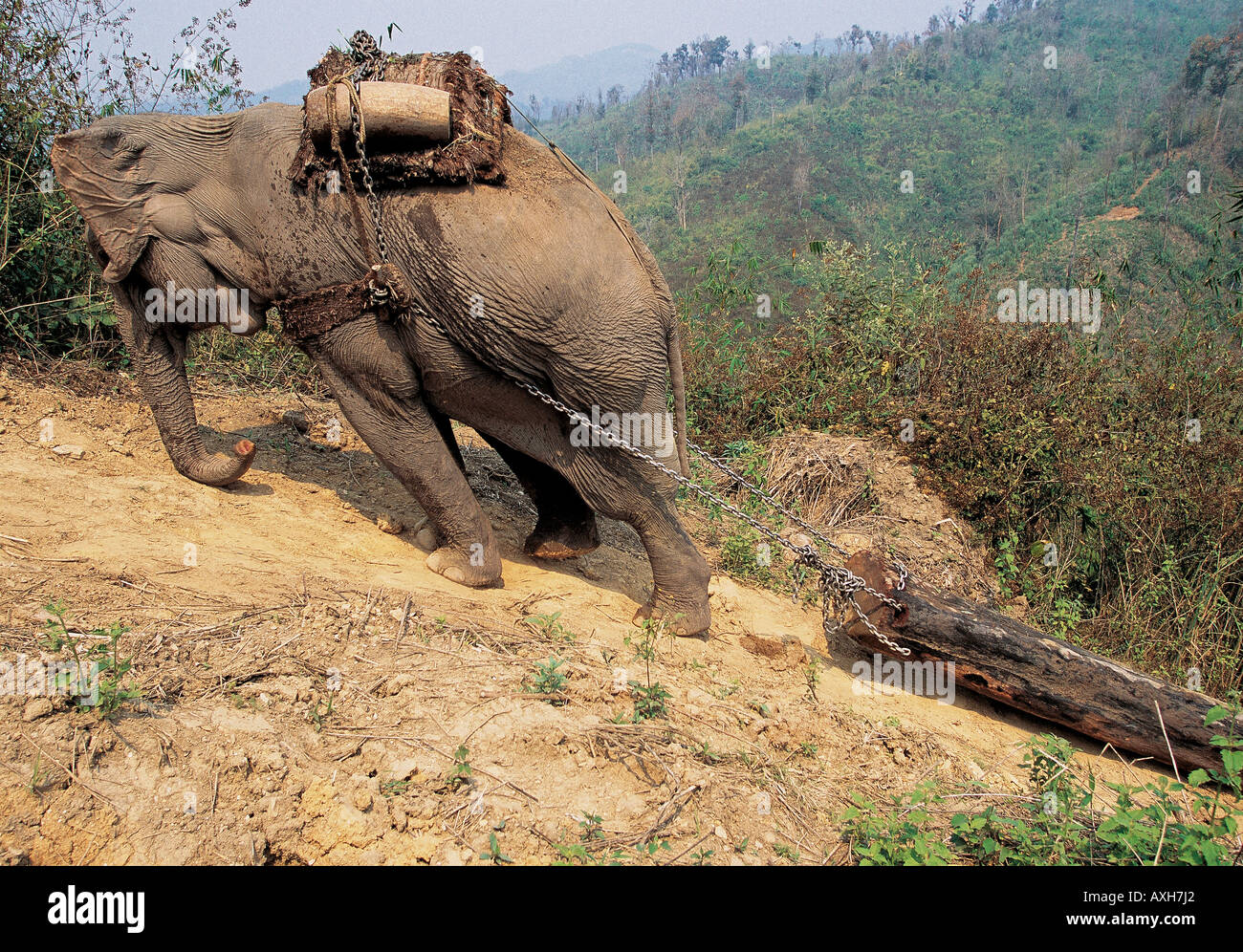 Asian Elephants Working In Logging Industry In Rainforests