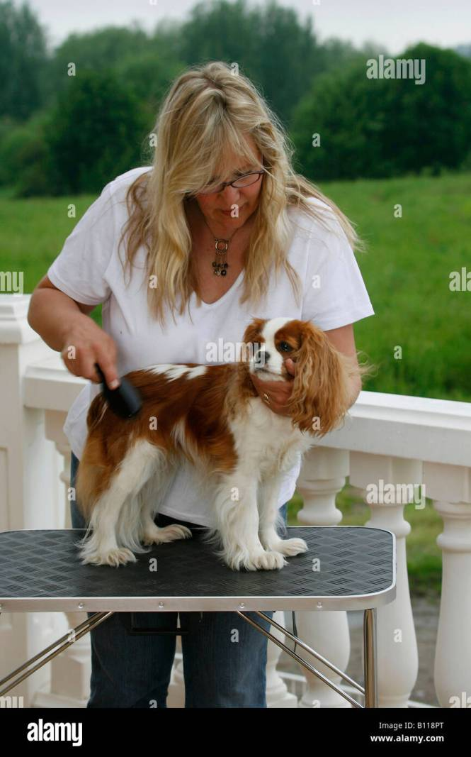 King Charles Cavalier Haircut The Best Haircut Of 2018