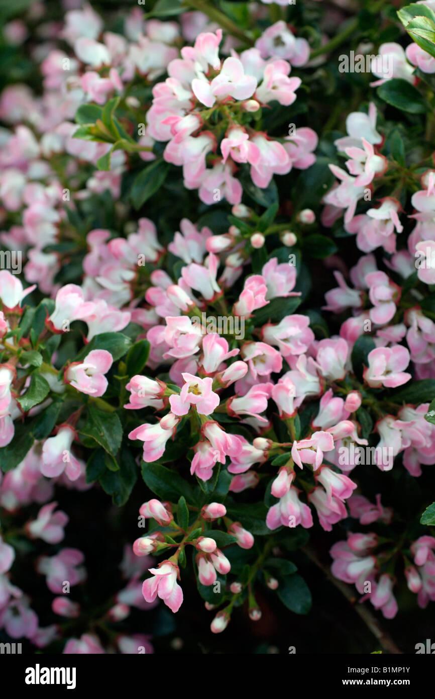 Escallonia Hedge Stock Photos Escallonia Hedge Stock Images Alamy